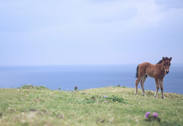 与那国島でのびのび生きる子馬の写真