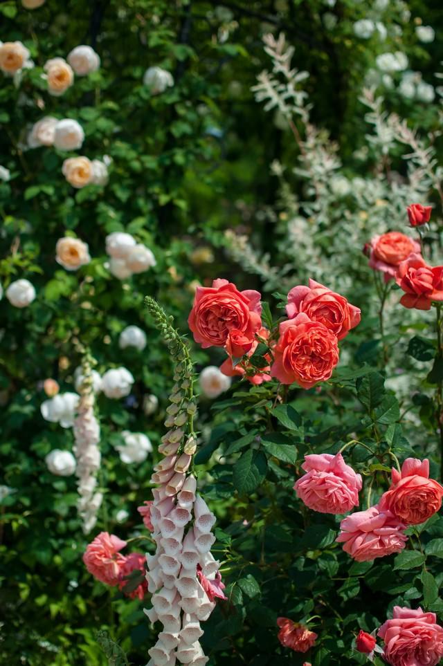 ビタミンカラーのバラの写真