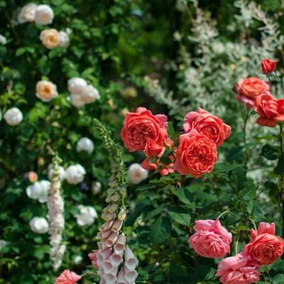 「ビタミンカラーのバラ」の写真素材