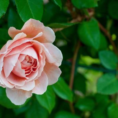 サーモンピンクのバラの写真
