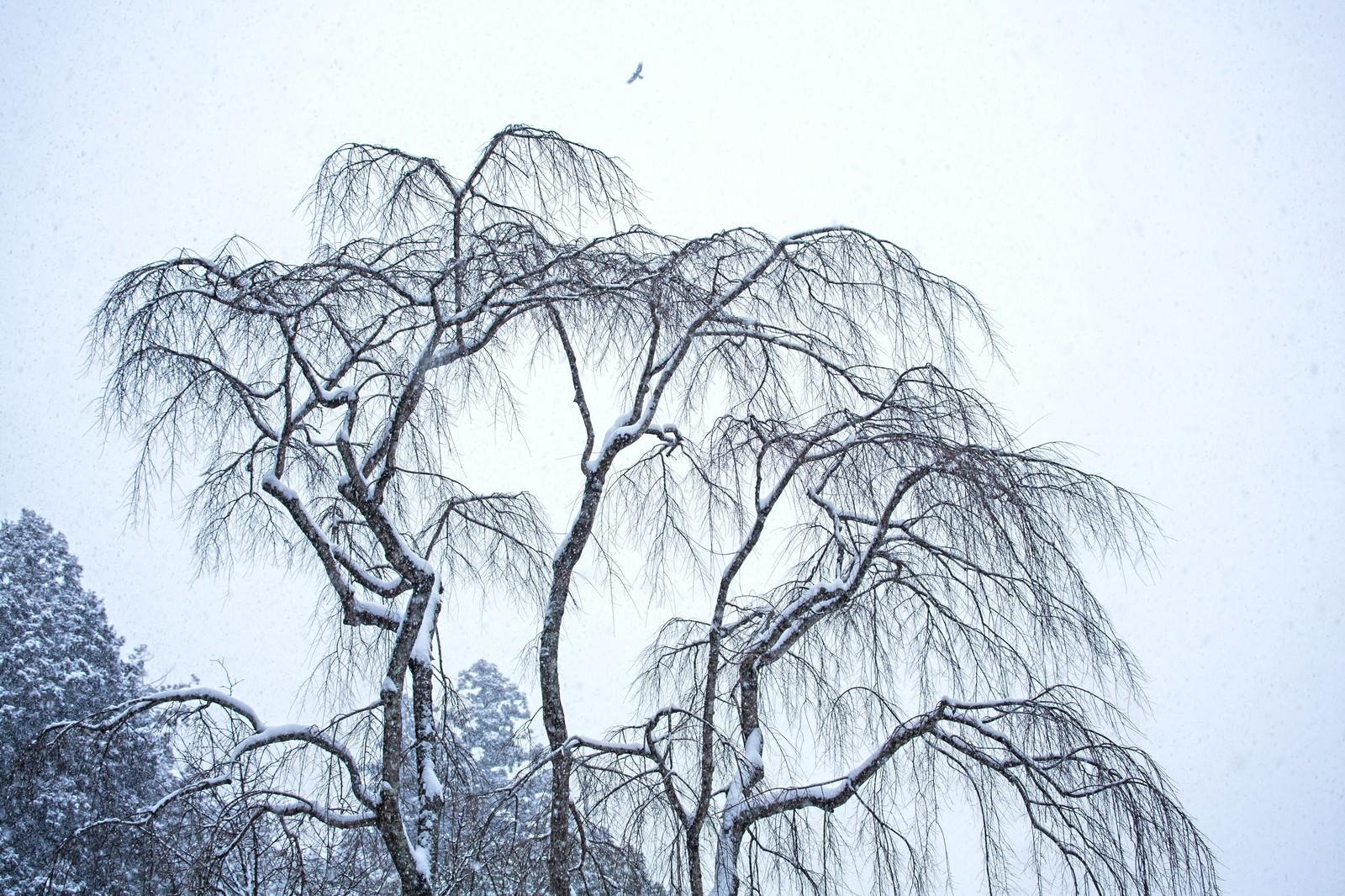 「枝垂れ木に積もる雪」の写真