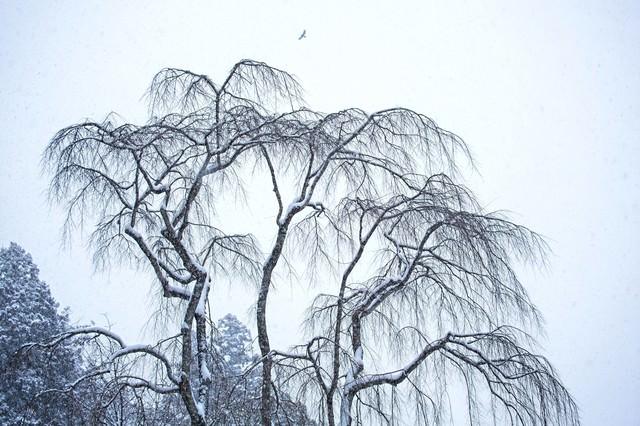 枝垂れ木に積もる雪の写真