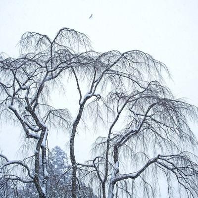 「枝垂れ木に積もる雪」の写真素材
