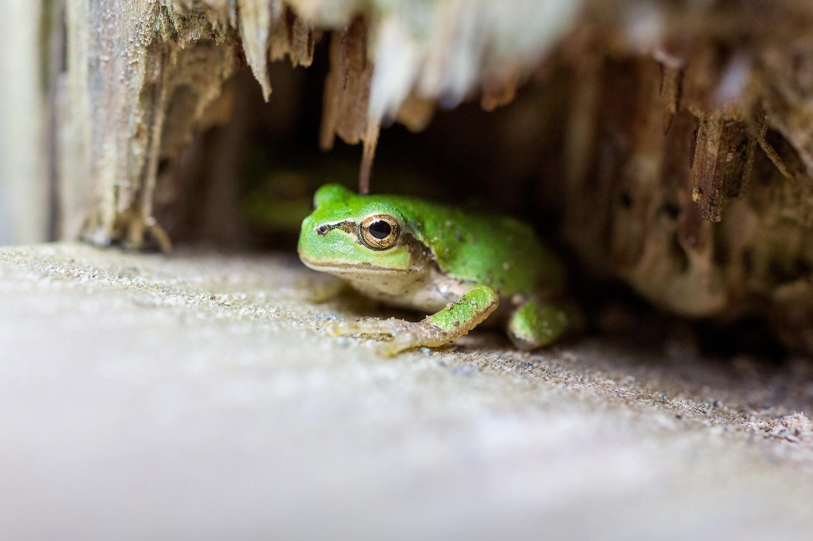 「木陰に隠れるアマガエル」の写真