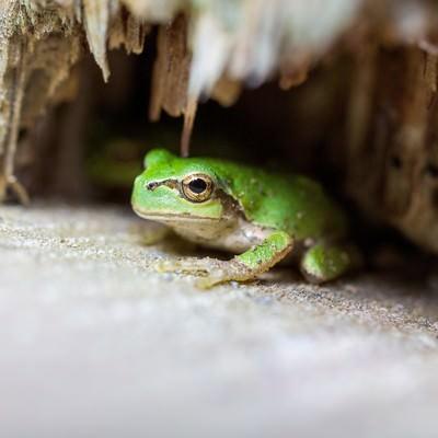 木陰に隠れるアマガエルの写真