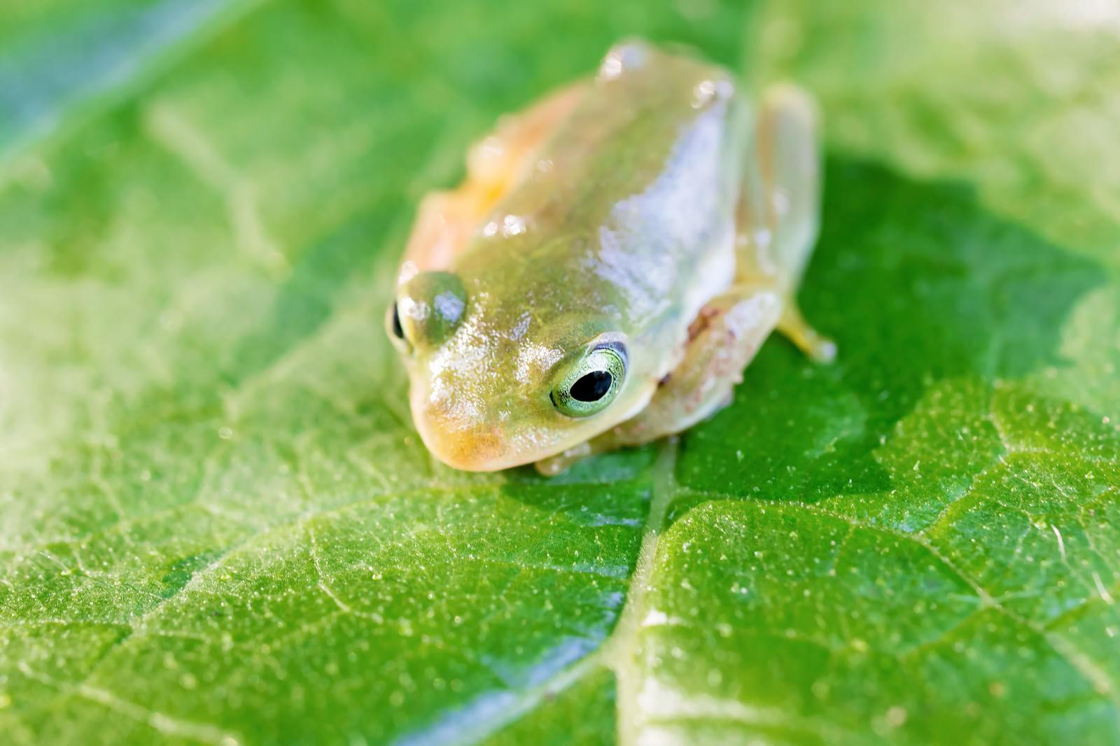 「葉っぱの上で丸くうずくまるアマガエル」の写真