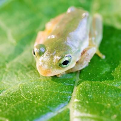 「葉っぱの上で丸くうずくまるアマガエル」の写真素材