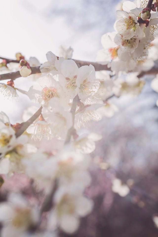 淡い光と梅の花の写真