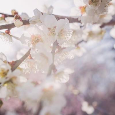「淡い光と梅の花」の写真素材