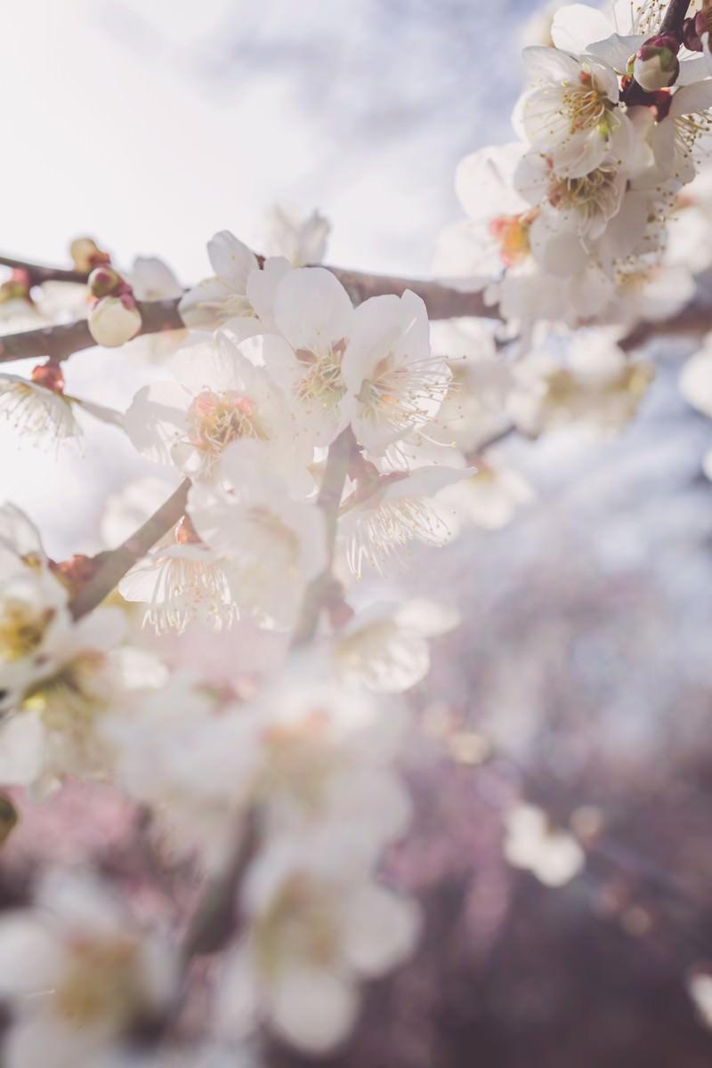 「淡い光と梅の花」の写真