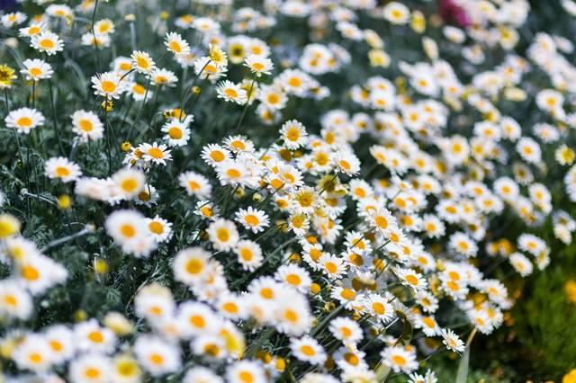ノースポールのお花達