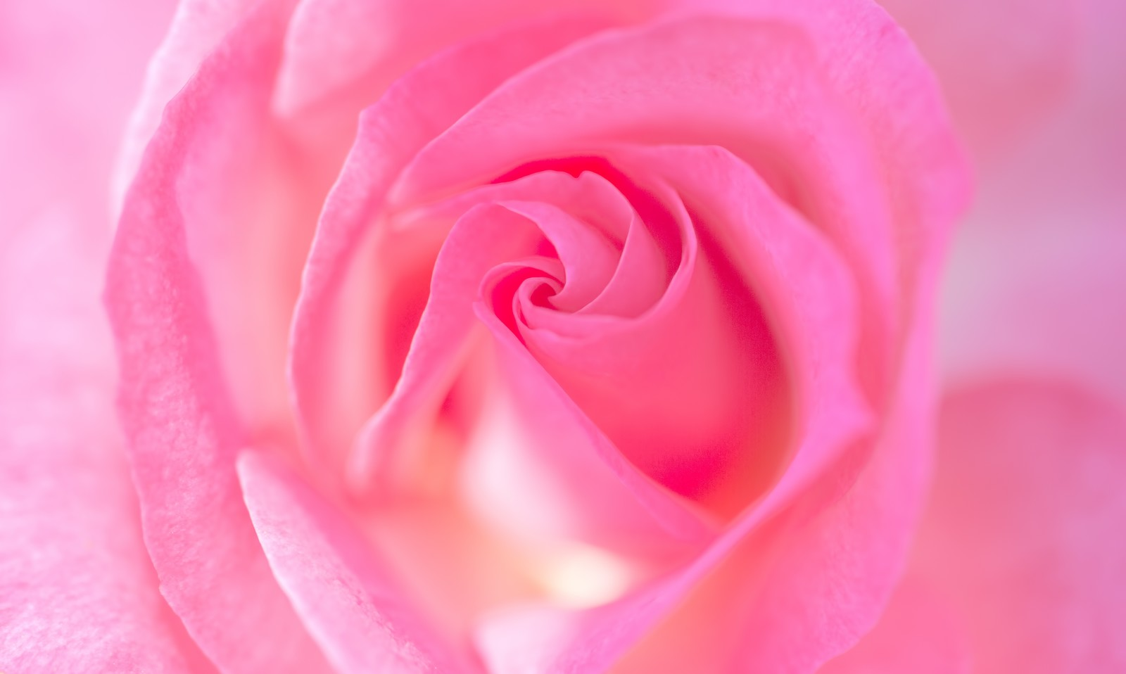 「バラの渦巻く部分」の写真