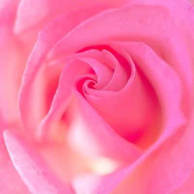 バラの渦巻く部分の写真