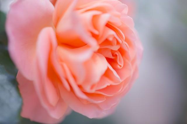 薄いピンクの薔薇の写真