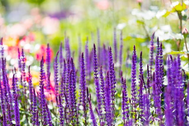 カラドナの花の写真