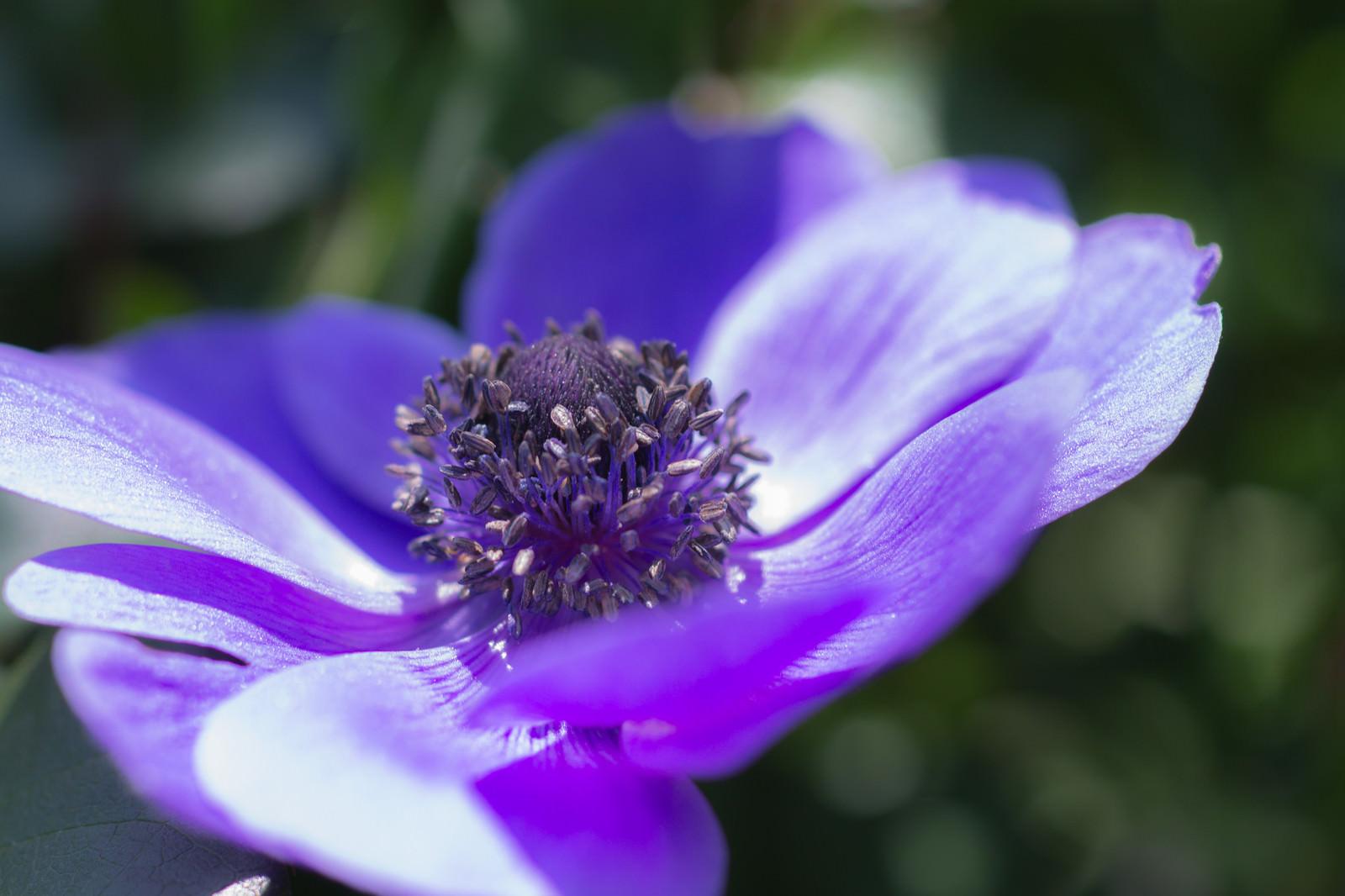 「紫色のアネモネ」の写真