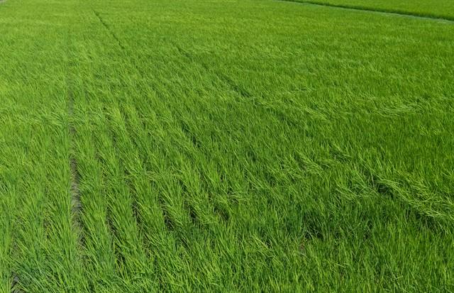 風でなびく稲(田んぼ)の写真