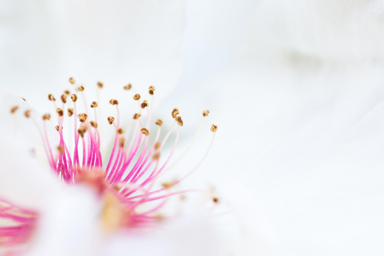 「ピンクの雄しべと白い花びら(マクロ)」の写真