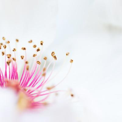 「ピンクの雄しべと白い花びら(マクロ)」の写真素材