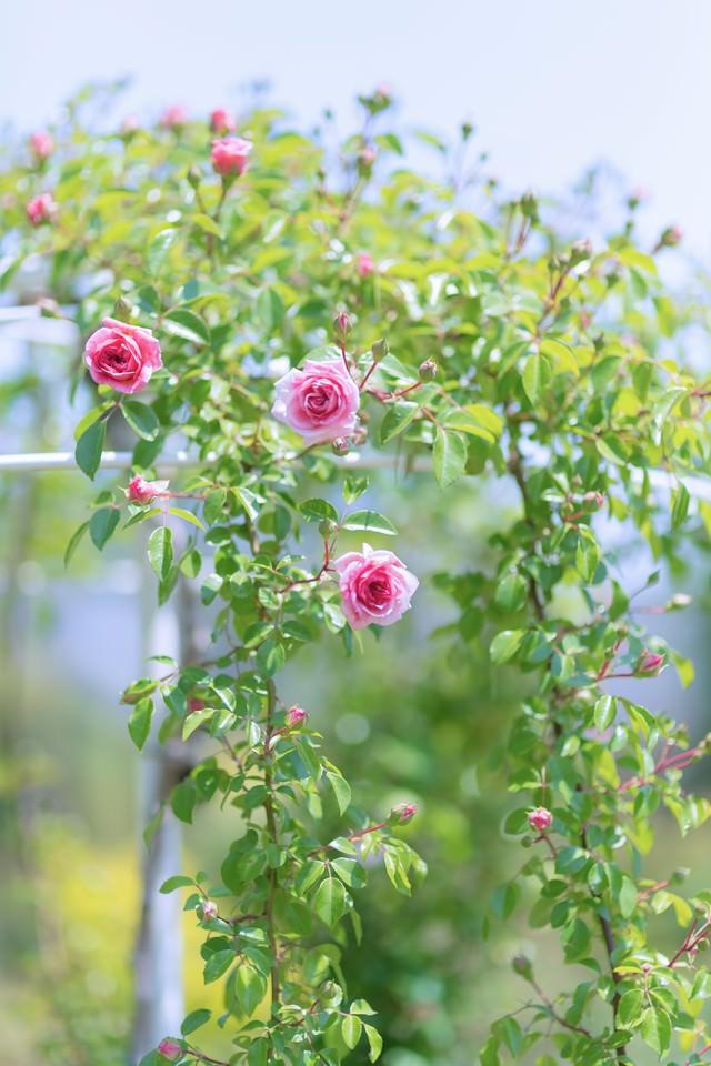 咲き始める薔薇の写真