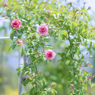 「咲き始める薔薇」の写真素材