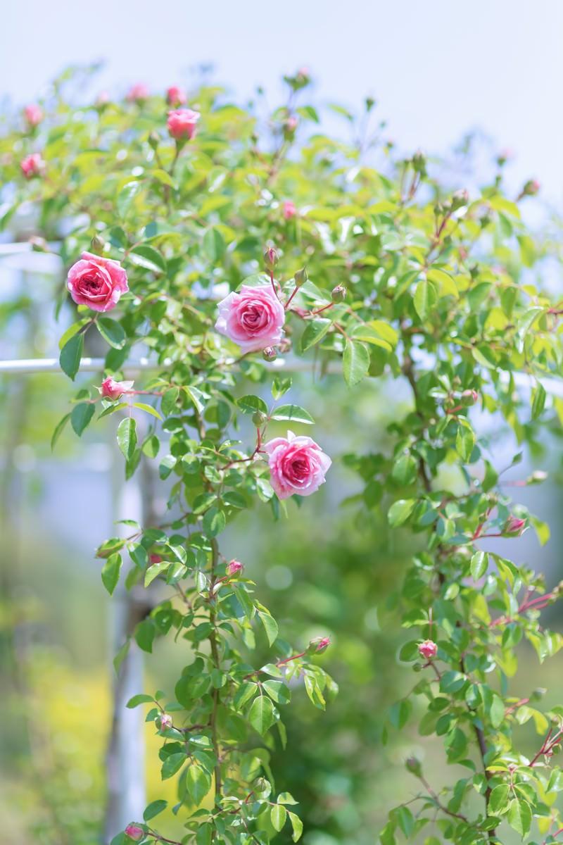 「咲き始める薔薇」の写真