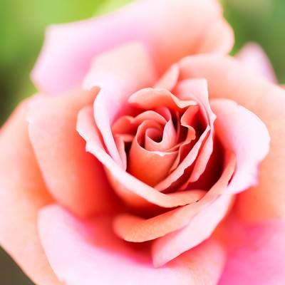 「我がこころ君のみぞ知る(ピンクの薔薇)」の写真素材