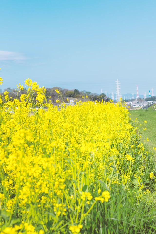 河川に咲く菜の花の写真