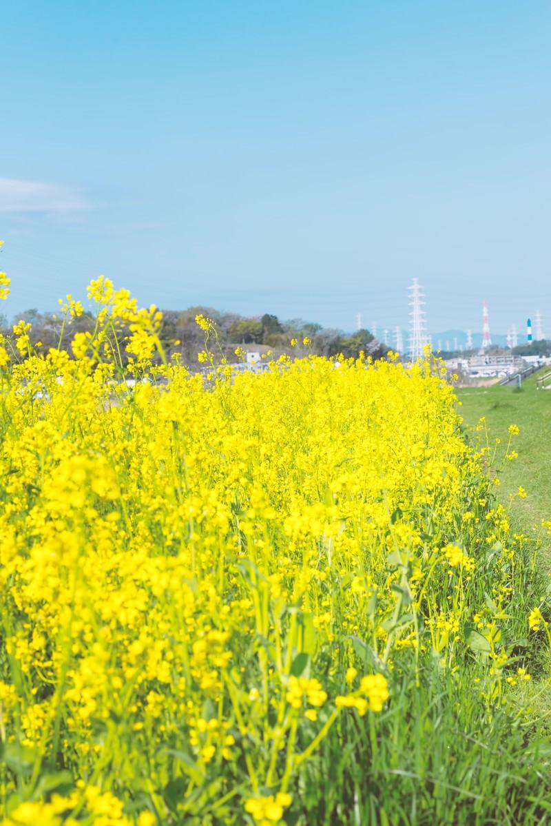 「河川に咲く菜の花」の写真