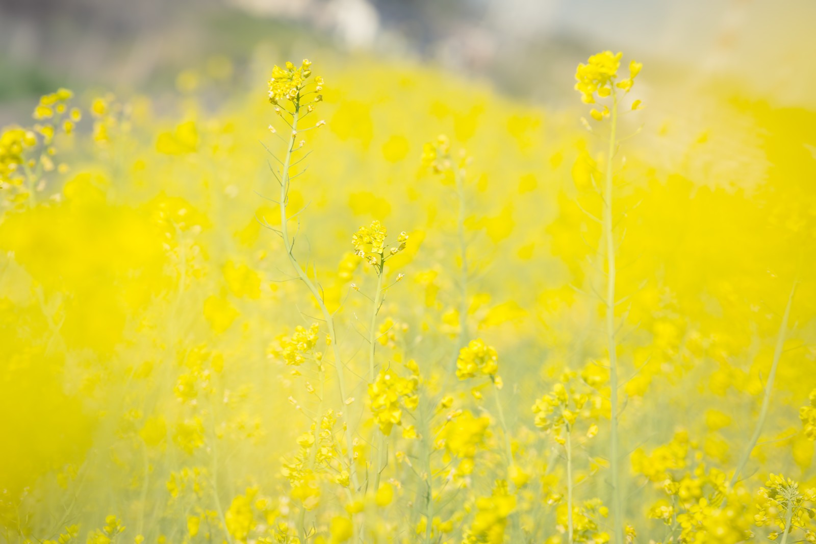 「黄色いテクスチャー(菜の花)」の写真