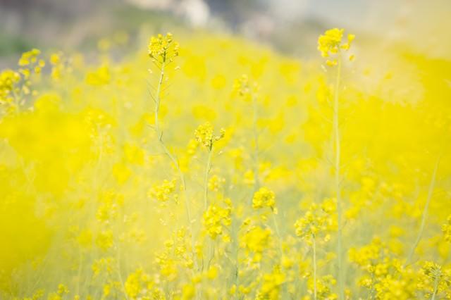 黄色いテクスチャー(菜の花)の写真