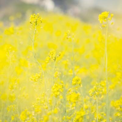「黄色いテクスチャー(菜の花)」の写真素材