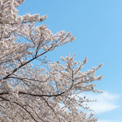 「春の桜」の写真素材