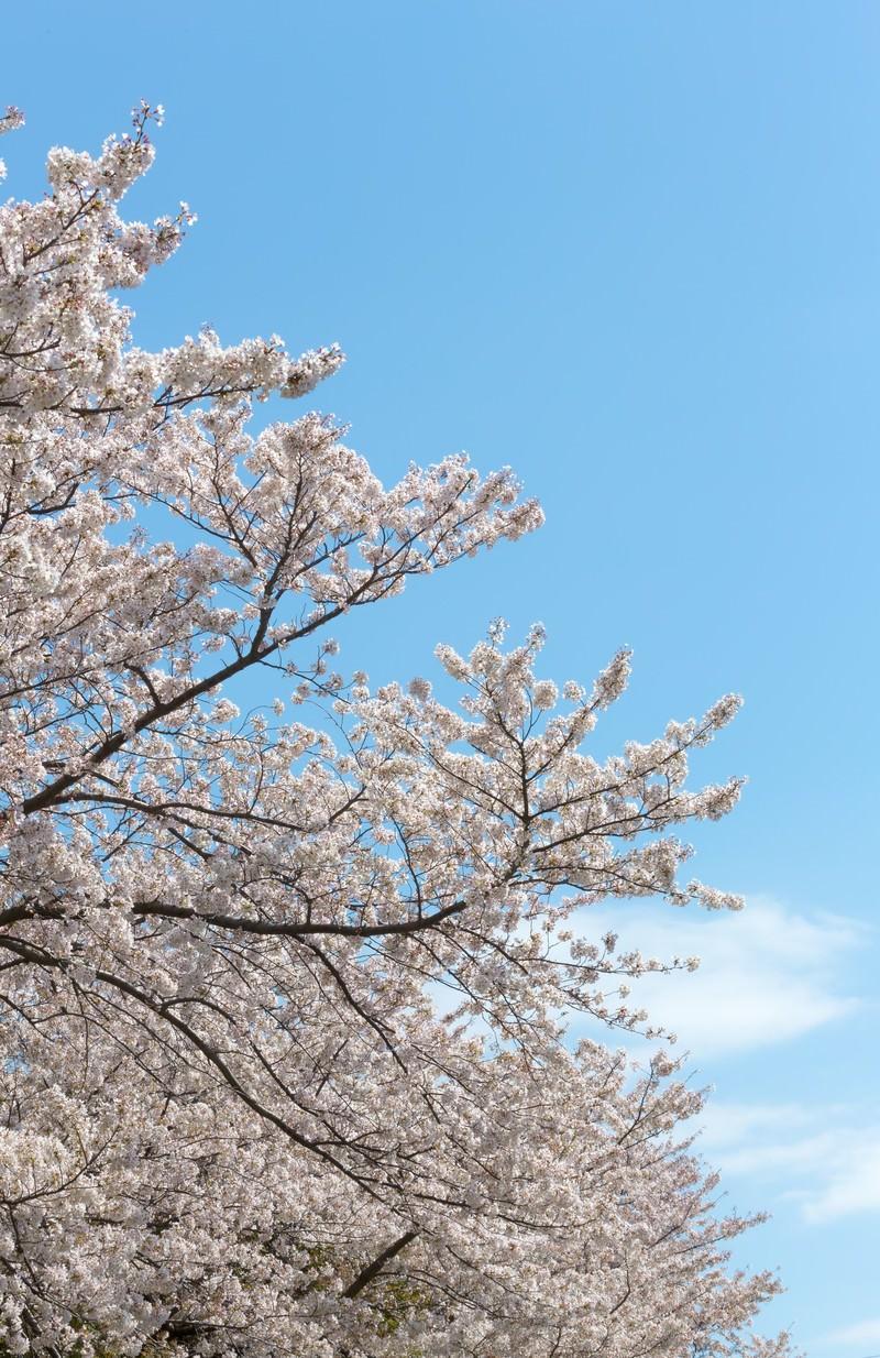 「春の桜」の写真