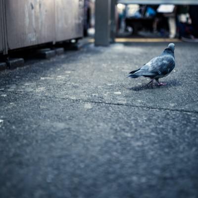 歓楽街を彷徨く鳩の写真