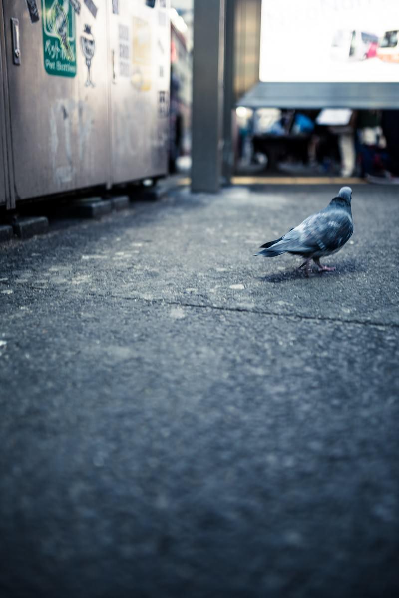 「歓楽街を彷徨く鳩」の写真