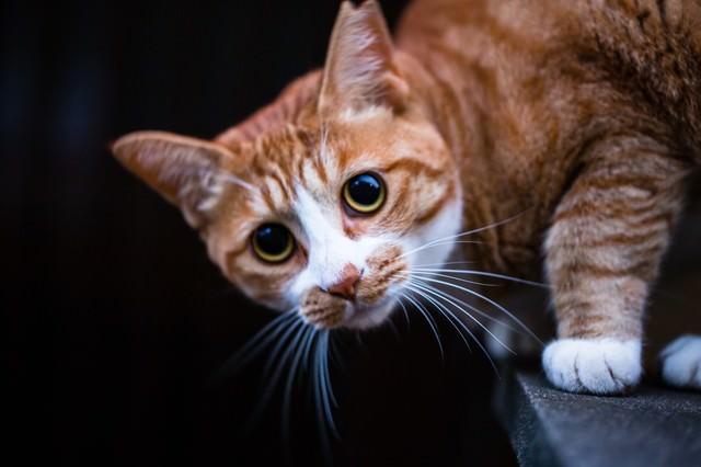 こちらを警戒し目を丸くする茶猫の写真