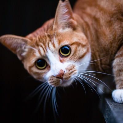 「こちらを警戒し目を丸くする茶猫」の写真素材