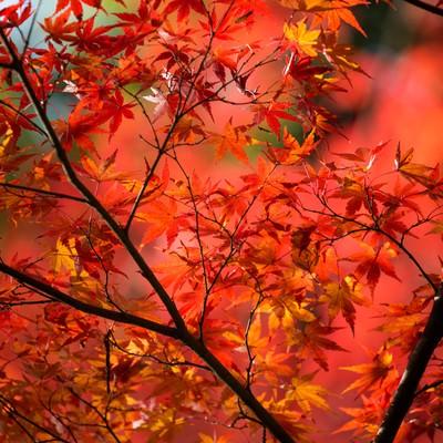 赤く紅葉した木の写真