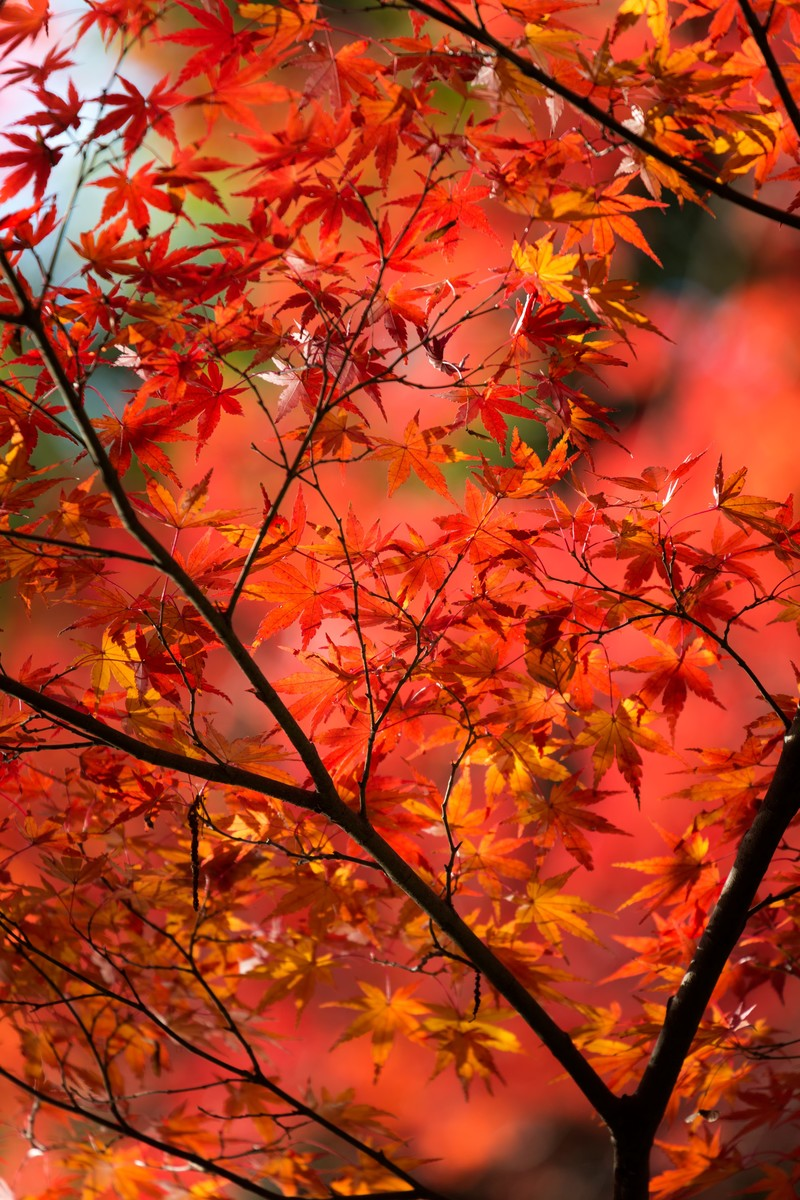 「赤く紅葉した木」の写真
