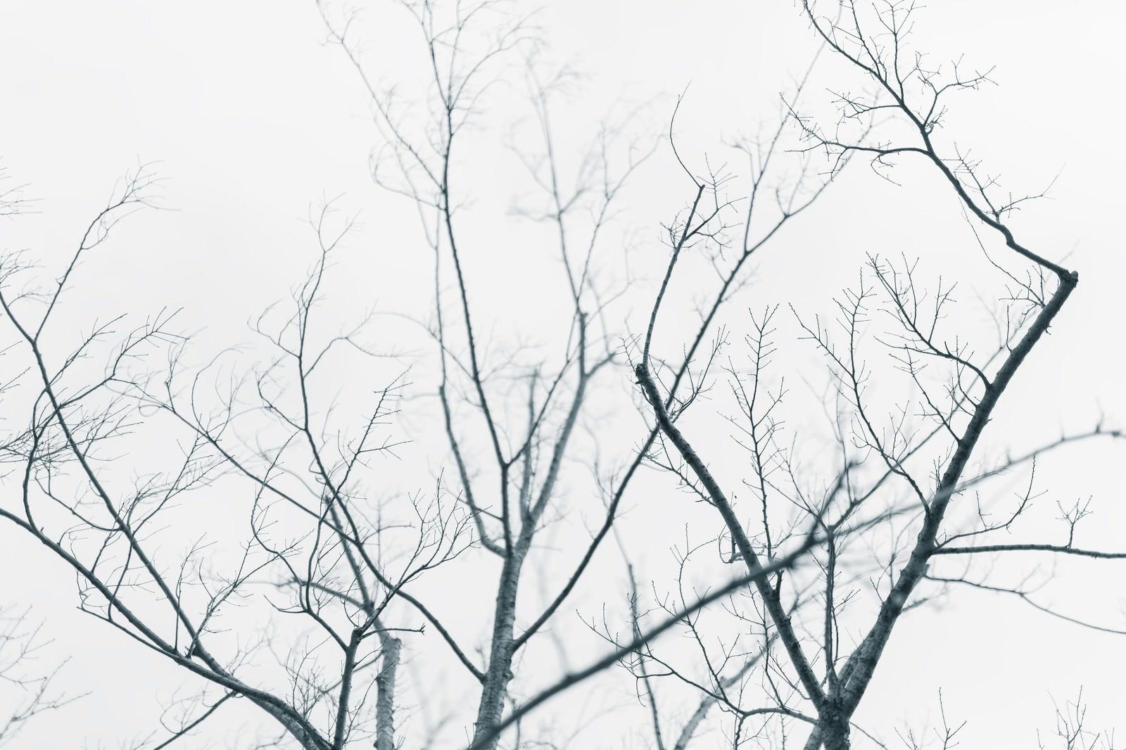 「葉が落ちた街路樹」の写真