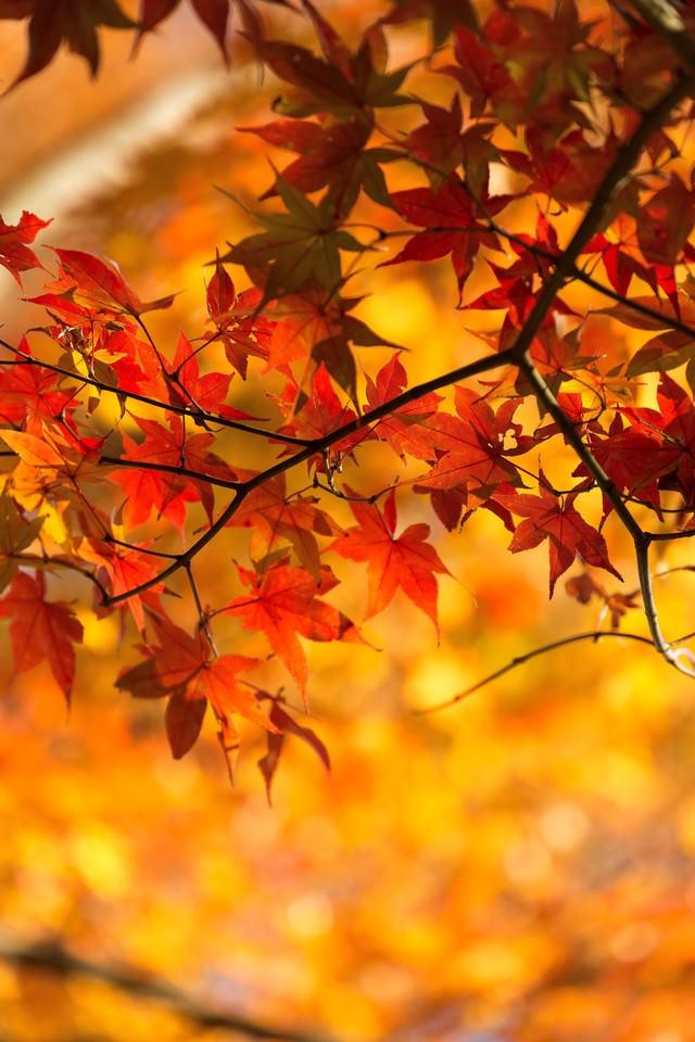 オレンジ色に染まった紅葉の写真
