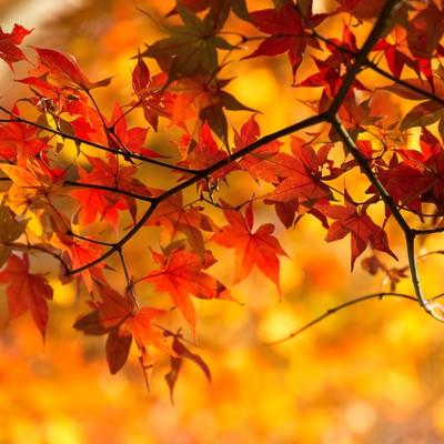 「オレンジ色に染まった紅葉」の写真素材