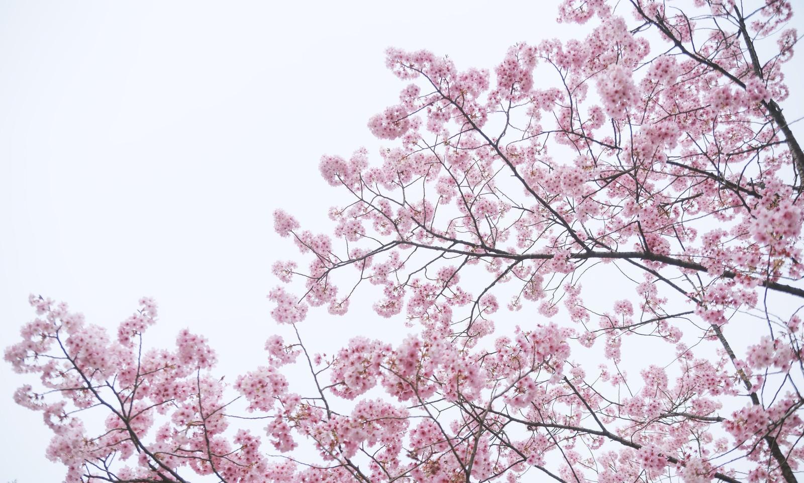 「満開の八重紅桜」の写真