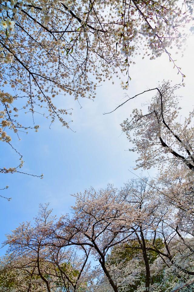 開花するサクラと青空の写真