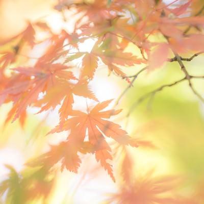 淡い光と色づいた紅葉の写真