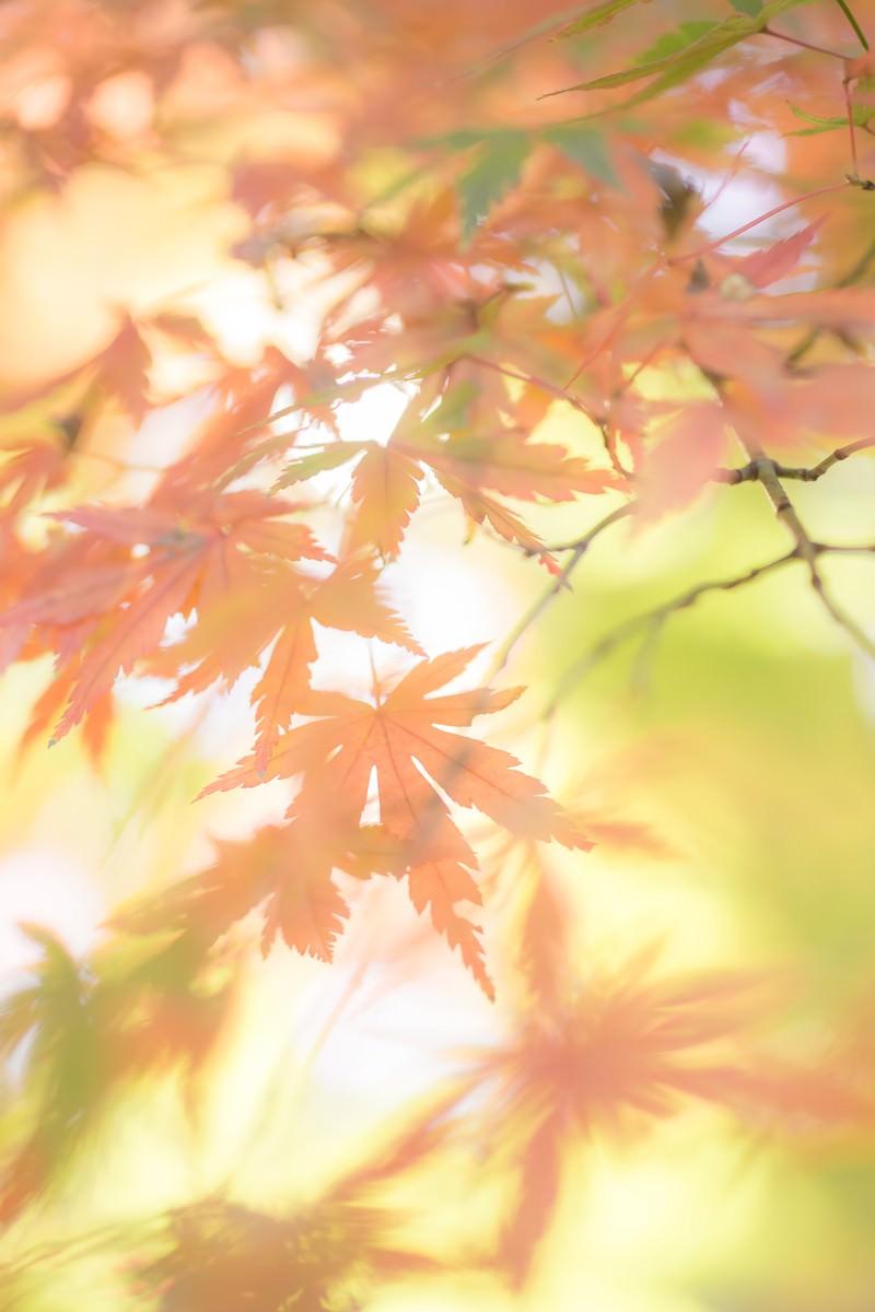 「淡い光と色づいた紅葉」の写真