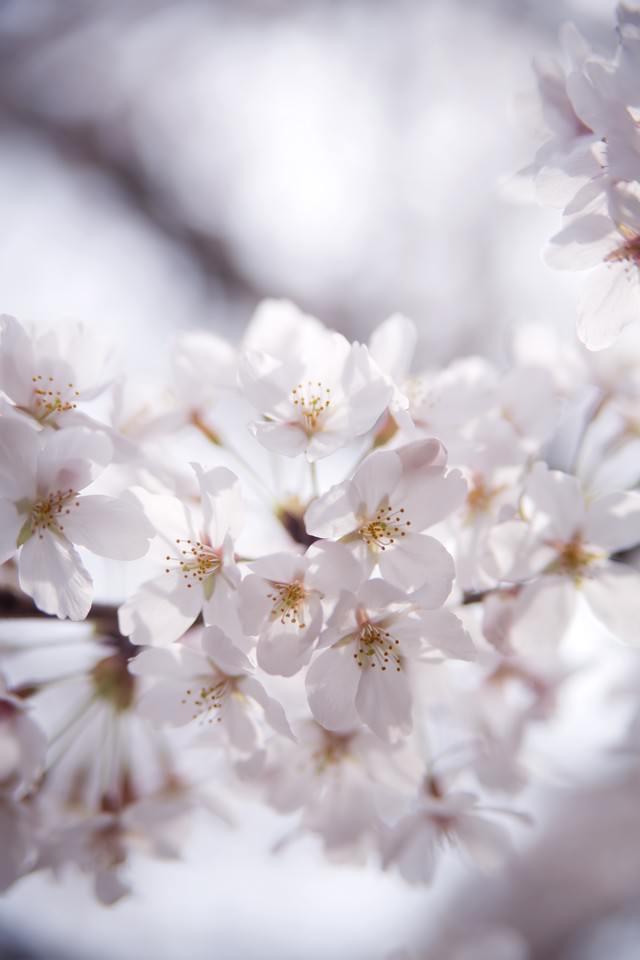 冷たい桜の花の写真