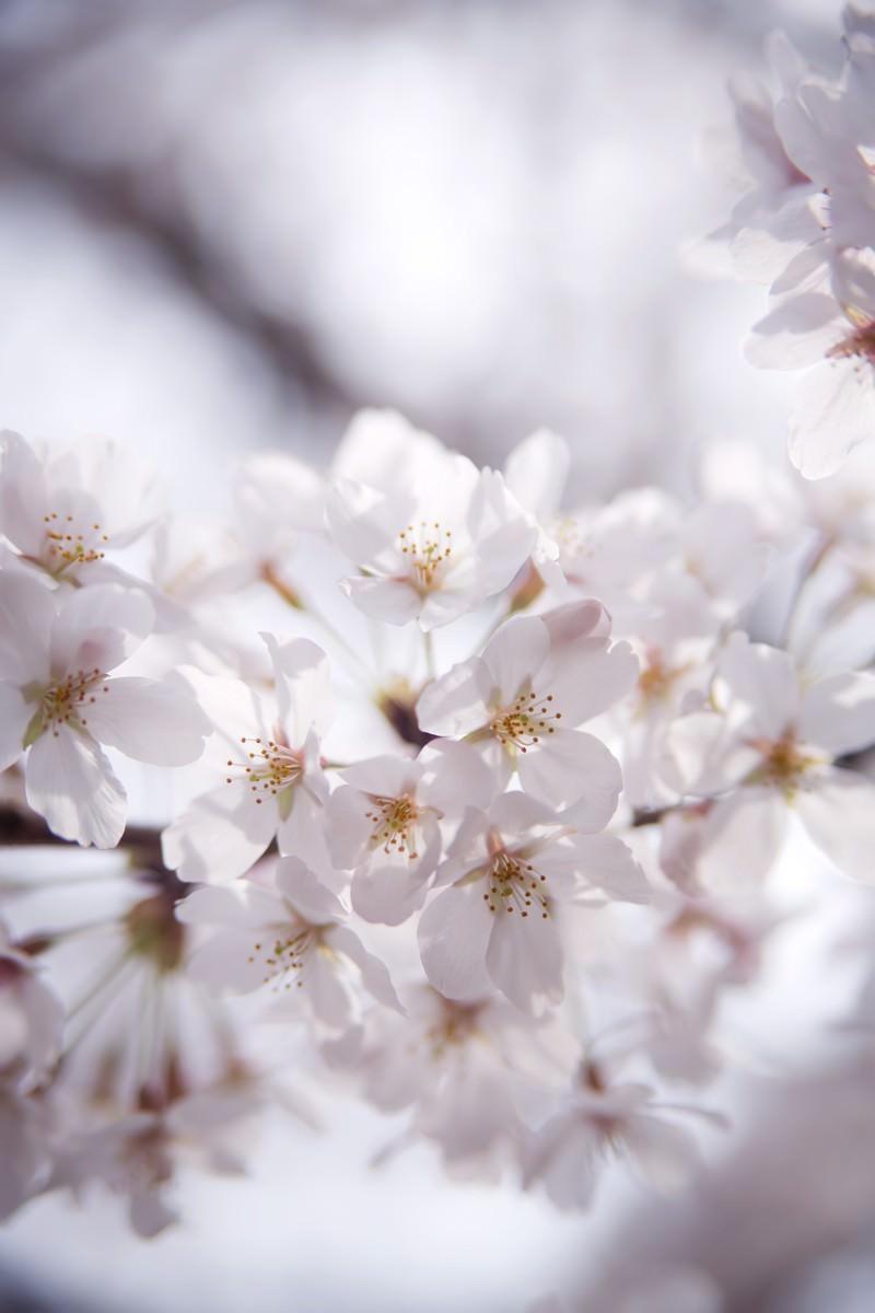 「冷たい桜の花」の写真
