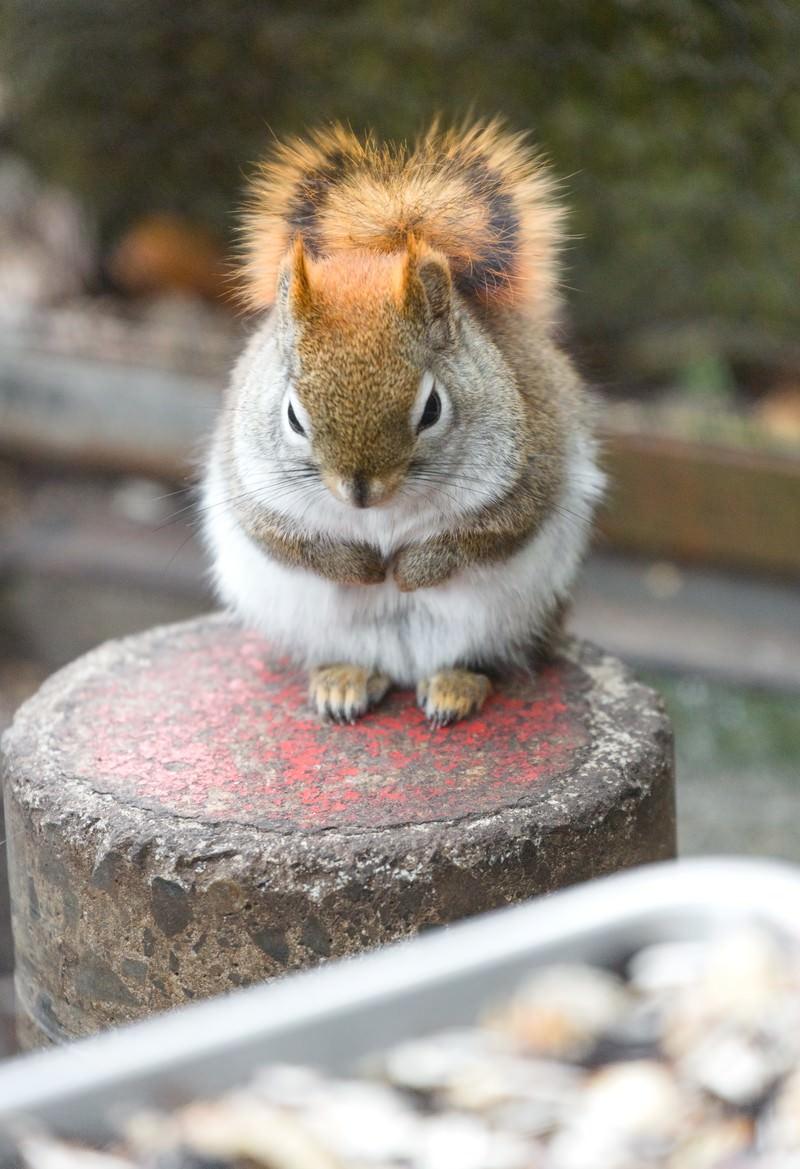 「餌の前でお預けしている丸くなったリス」の写真